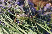 Bush cricket - seeking identity