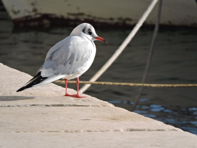 Black-headed gull. Photo: Steve Jones