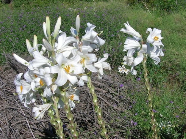 Wild Lilies, a May Treat