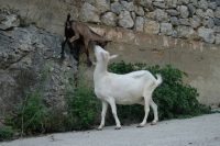 Goats enjoying freedom in Vrisnik