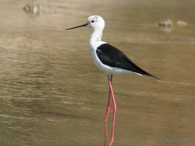 Black-winged stilt.