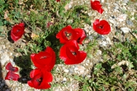 Brilliant poppies on Hvar in springtime.