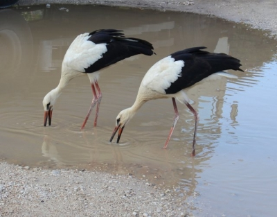 Two Storks holidaying in Jelsa, September 2017.
