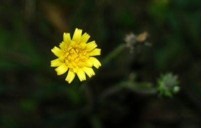 Field marigold, December 2016
