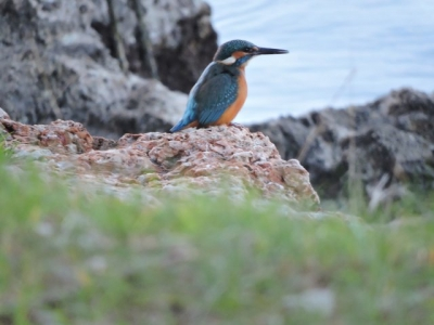 Kingfisher, December 20th 2016