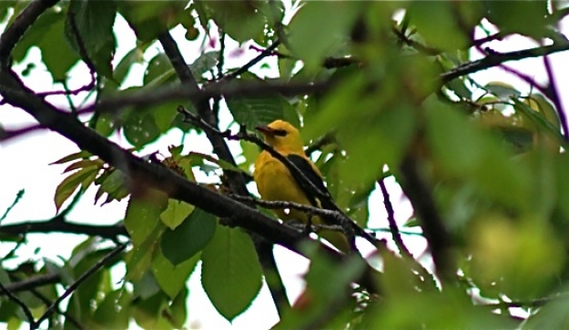 Spring-time and the Golden Oriole is back.