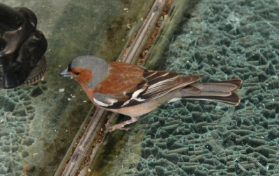 Chaffinch: reduced numbers present in 2018.