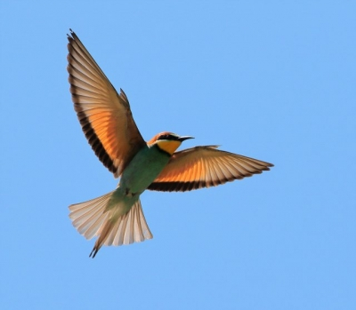 Bee-Eater in flight.
