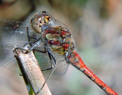 Common Scarlet Darter Dragonfly