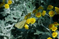 Butterfly with cineraria