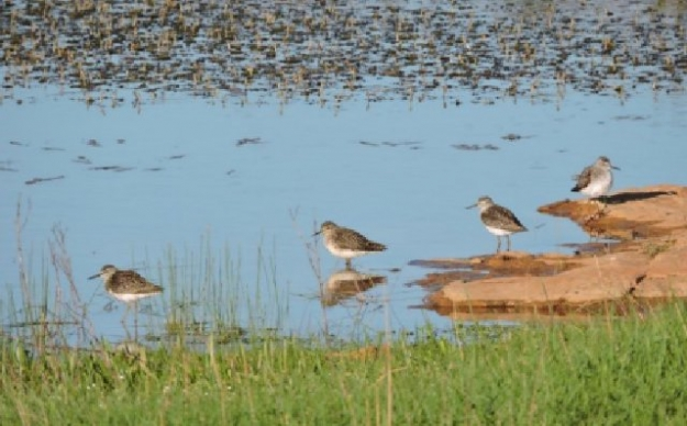 Wood sandpipers by the pond.