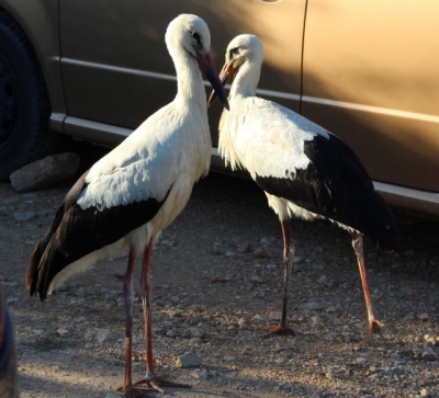 Storks in Jelsa, September 2017.