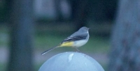 Grey wagtail in Stari Grad